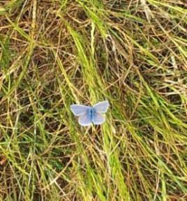 blauer Schmetterling_3